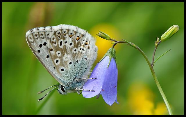 Chalk-hill Blue (Polyommatus coridon)....