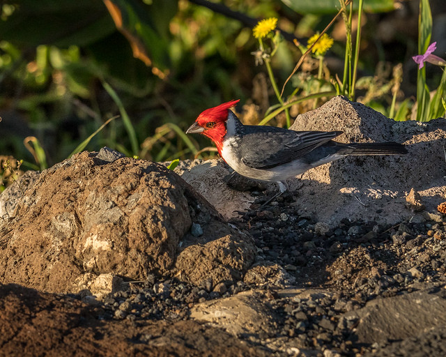Red-crested cardinal_0162_Oahu_1-12-18_resized