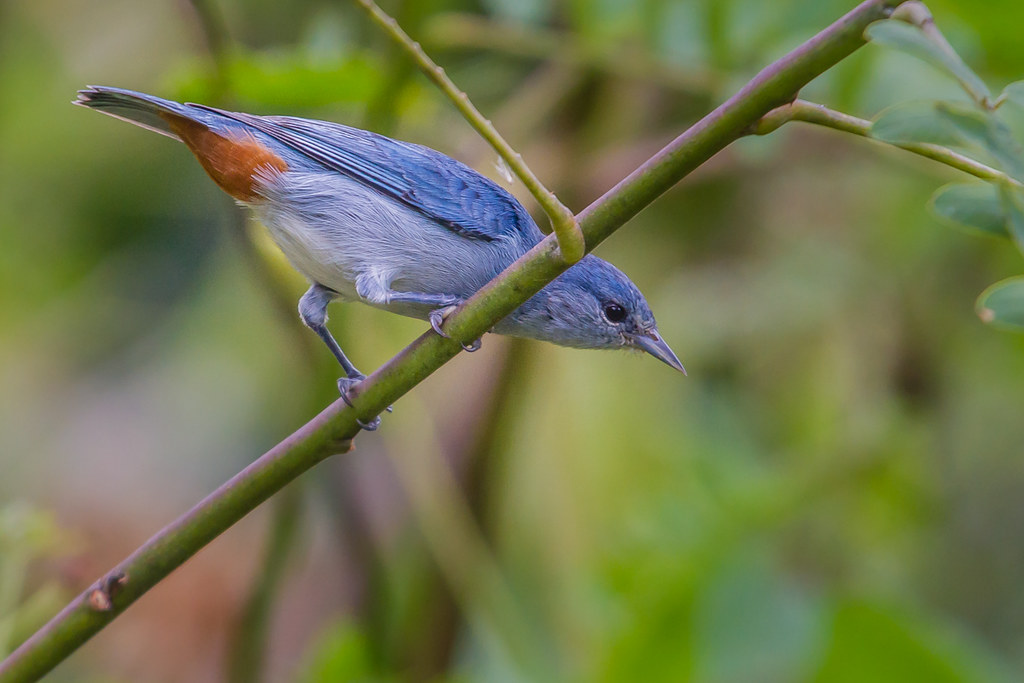 Chestnut-vented Conebill - Brazilian Birds - Species # 232
