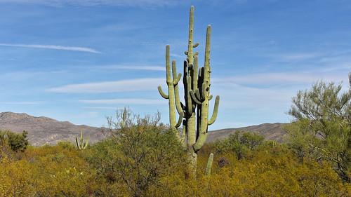 usa unitedstates arizona landscape nature countryside saguaronationalpark plants green cactus