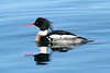 Mergus serrator ♂ (Red-breasted Merganser) - Blaine, WA by Nick Dean1