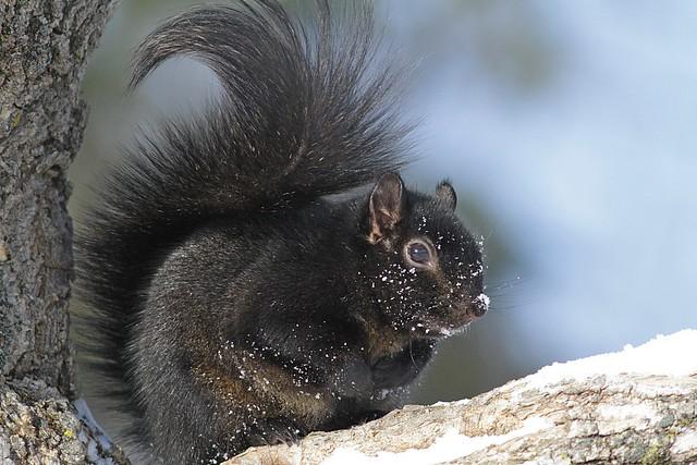 Écureuil gris (forme noire) / Sciurus carolinensis / Eastern Gray Squirrel (black morph)