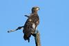 Haliaeetus leucocephalus (Bald Eagle) 2nd year, Blaine WA by Nick Dean1