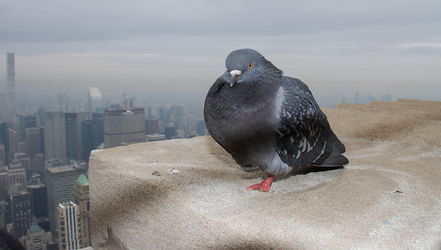 Empire State Pigeons