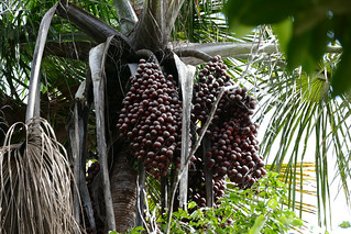 Moriche Palm buriti aguaje (Mauritia flexuosa) fruits