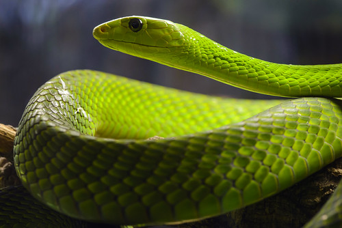 Eastern green mamba (Dendroaspis angusticeps) | by hape662