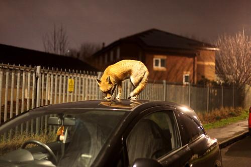 Roof rider, Urban fox on roof of car in Bristol, Ian Wade