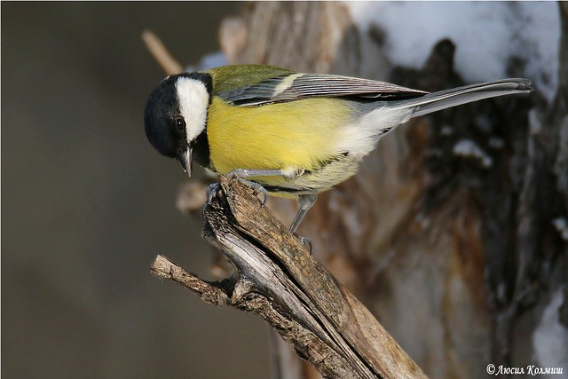Portrait of Mrs Great tit