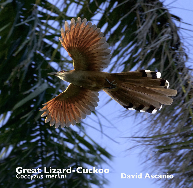 Great Lizard-Cuckoo, Coccyzus merlini_199A2661
