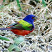 One last shot of my friend Pierre the PAINTED BUNTING at Circle B Bar Reserve, Lakeland, Florida by Ed Rizer
