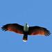 Brahminy Kite - Photo (c) Graham Winterflood, some rights reserved (CC BY-SA)