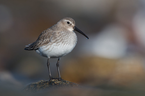 Dunlin | by Jesse_in_CT