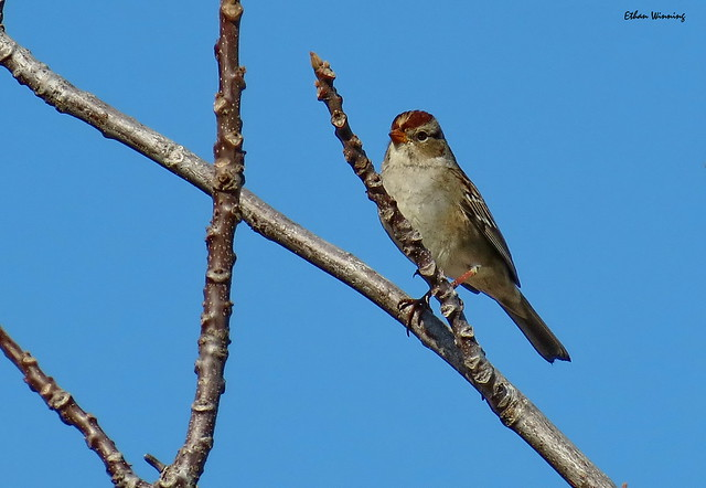 Rufous-crowned Sparrow 0325