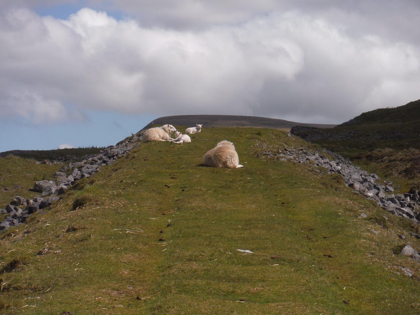 Sheep on Dismantled Tramway SWC Walk 307 - Fforest Fawr Traverse (Craig y Nos to Llwyn-y-celyn)