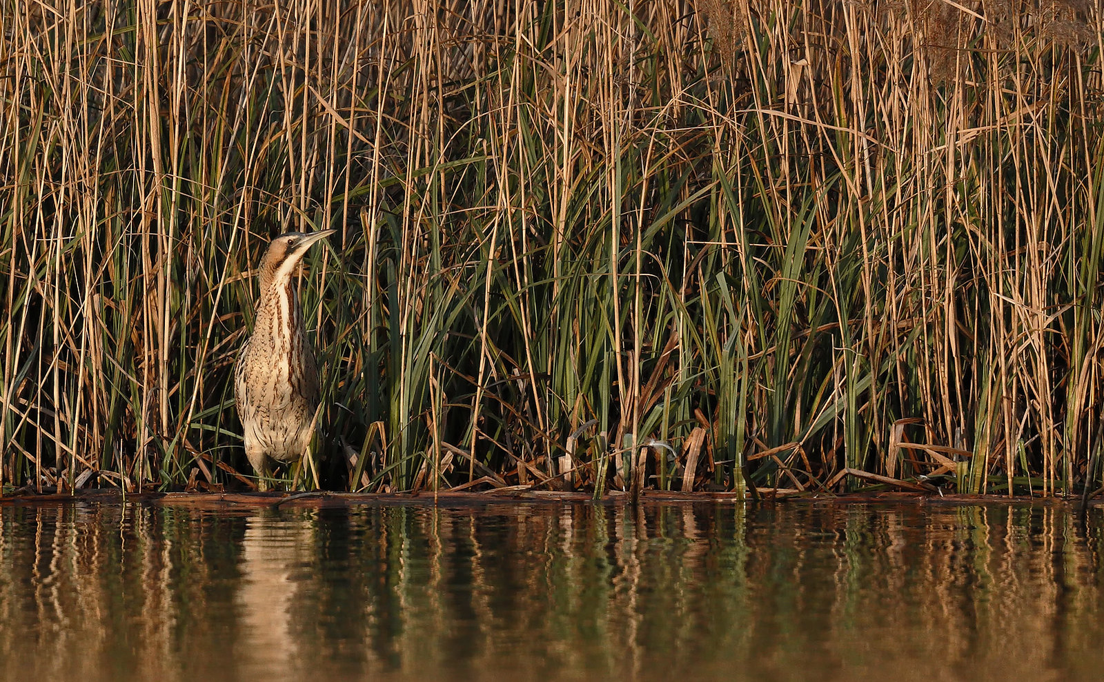 Bittern in late afternoon sun