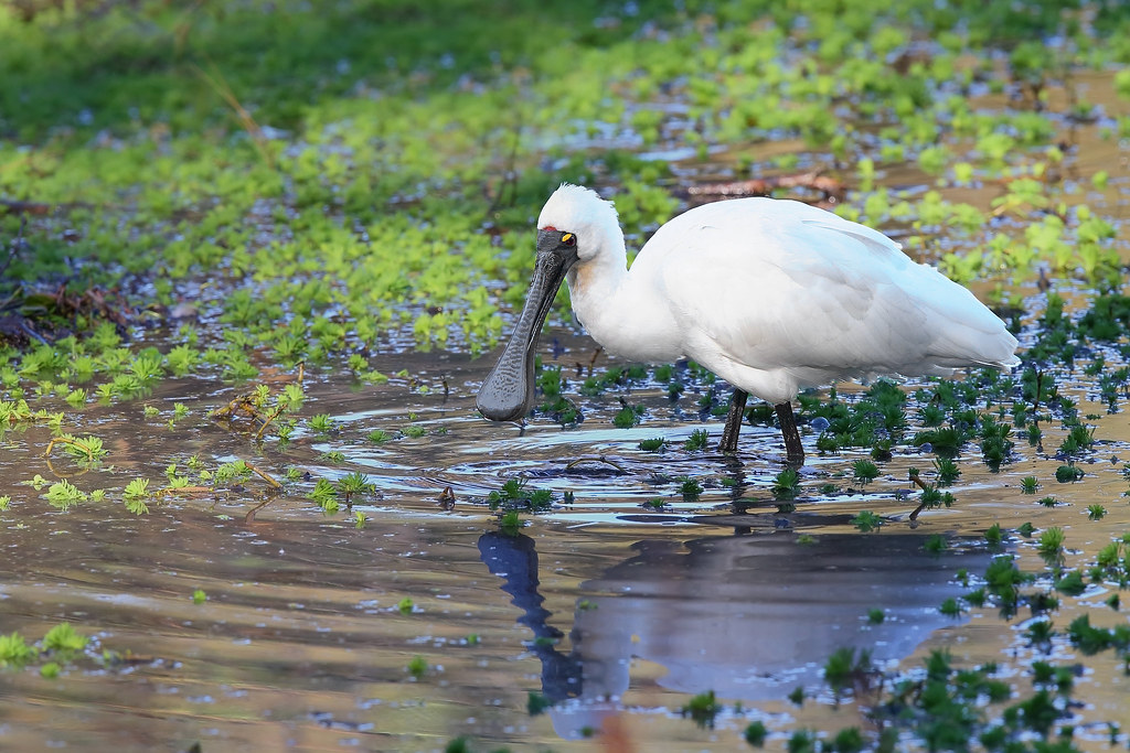 Spoonbill Royal 4 Warriewood NSW 1407