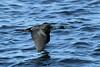 Phalacrocorax pelagicus (Pelagic Cormorant) - WA, USA by Nick Dean1