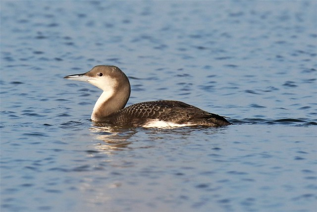 Black-throated Diver (Gavia arctica) In Winter plumage Dungeness RSPB