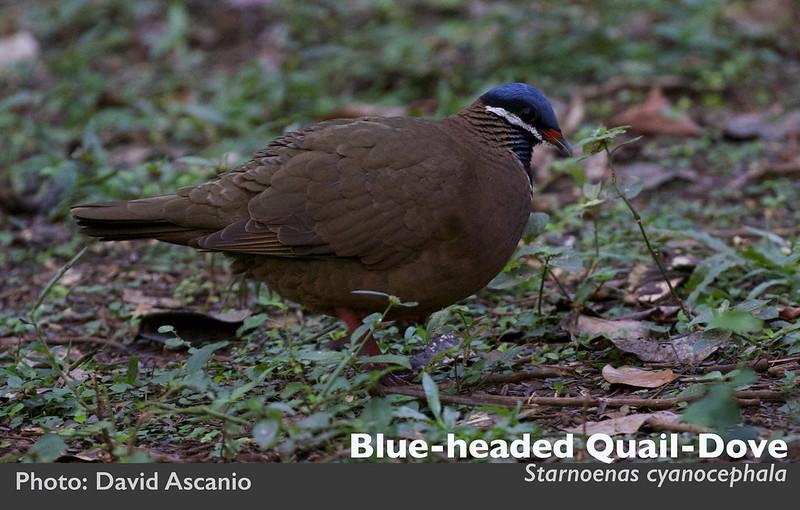 Blue-headed Quail-Dove, Starnoenas cyanocephala_199A3733