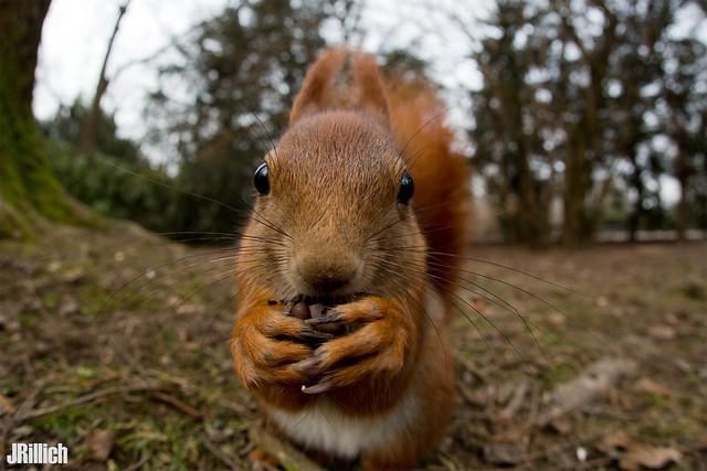 red squirrel @ Leipzig, 2018