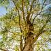 Australische Eucalyptus