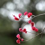 紅梅(鹿児島紅)