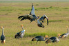 Grey Crowned Cranes (Balearica regulorum) by Gordon Magee