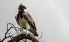 Martial Eagle by zimbart