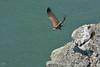 Eurasian Griffon taking flight, Vautour Fauve à l'envol by JLS@Photos