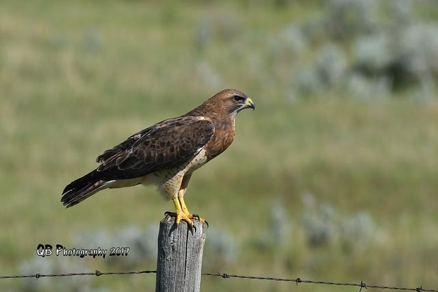 Swainson's Hawk DSC_4112