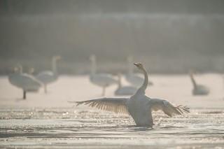Whooper swan   by pokretloodradia