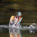 Kingfisher - Another fishing