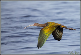 17-3046_white_faced_Ibis_in_flight_fs - Copy | by michaelsorsky