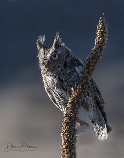 Eastern Screech Owl on Mullein