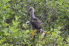Young Limpkin by DFChurch