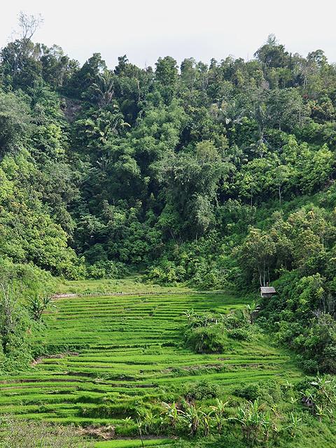 Lake Maninjau - Rainforest & Rice Fields