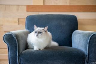 [台北 寵物攝影] 貓咪 布偶貓 寵物攝影   by cold0328