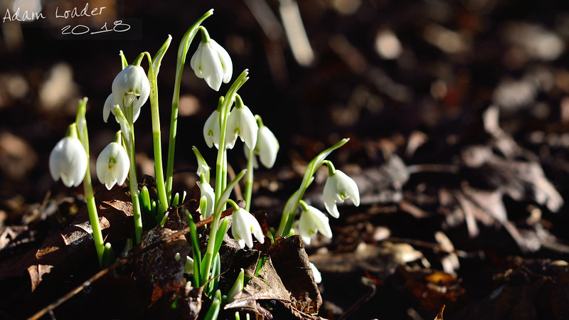 Snowdrops Sprouting through the Compost