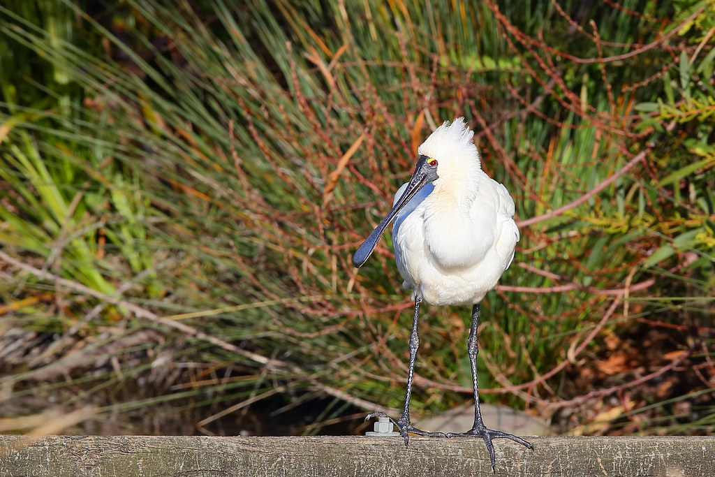 Spoonbill Royal 2 Warriewood NSW 1407