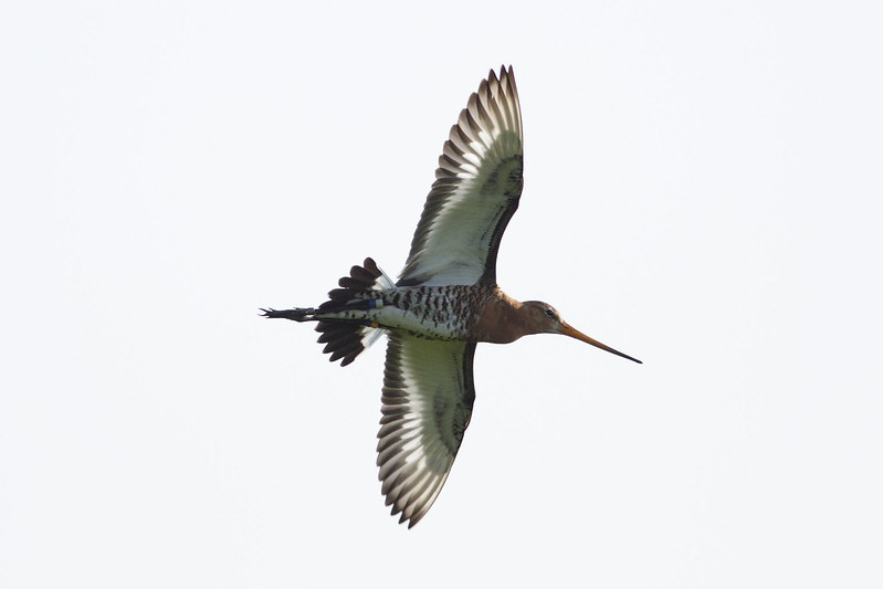Black-tailed godwit in flight - Guy Shorrock