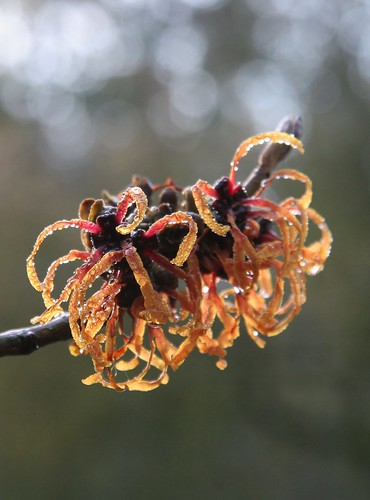 Witch Hazel in bloom | by Marta_9