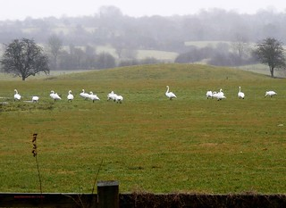 Whooper Swans 2-2-2011 | by Brian Carruthers-Dublin-Eire