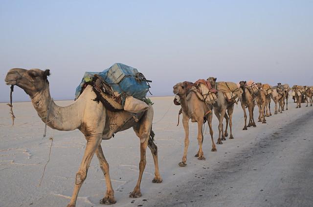 Camel caravan in the Danakil Depression - Ethiopia
