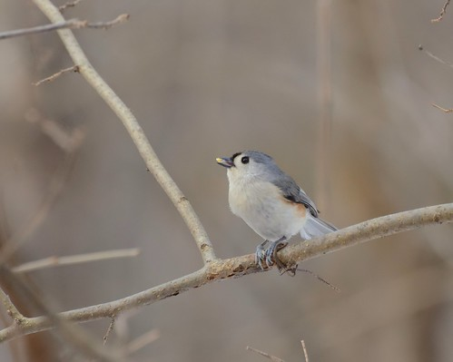 Tufted Titmouse | by marknenadov