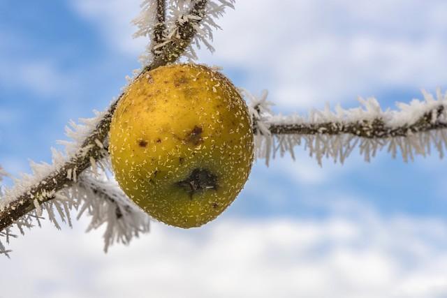 *Winter Apple*
