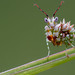 Eyed flower mantid by andredekesel