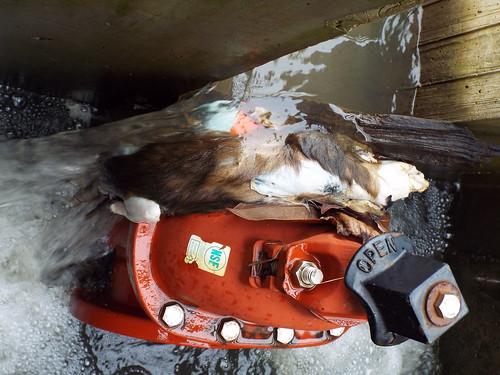 weasel otter flood outlet water log louisville kentucky project365 365 frankfort louisvillemetrogovernment mostinteresting letsguide msd