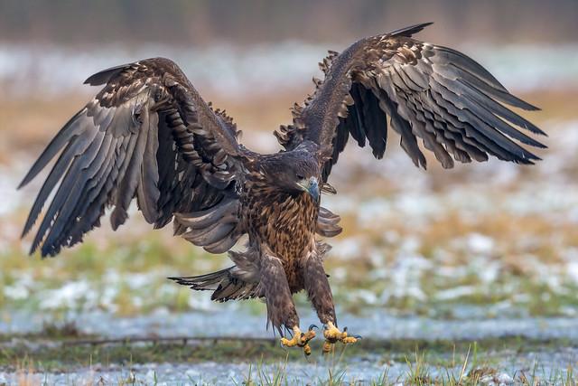 White-tailed Eagle Landing II