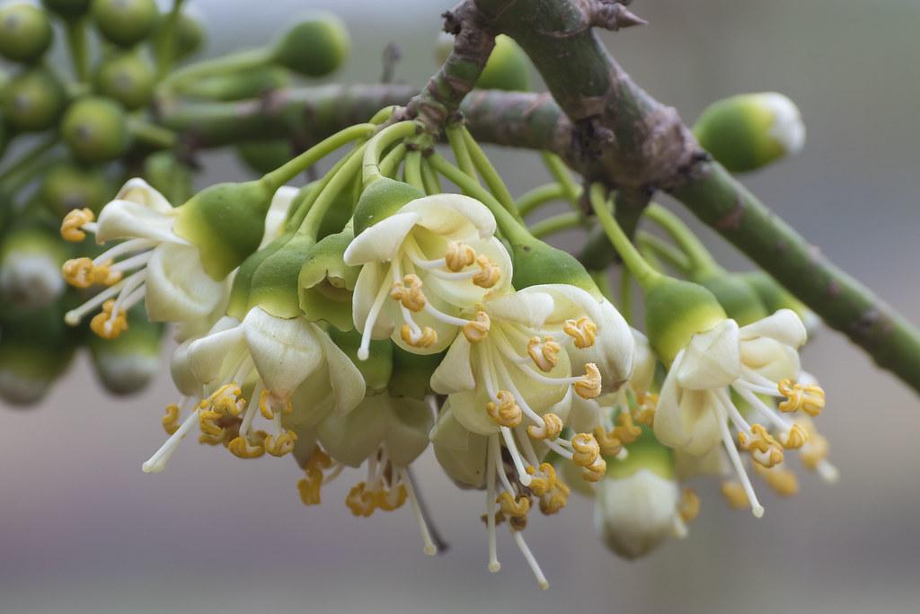 Kapok Tree Flowers (Ceiba pentandra) | Northeastern Thailand