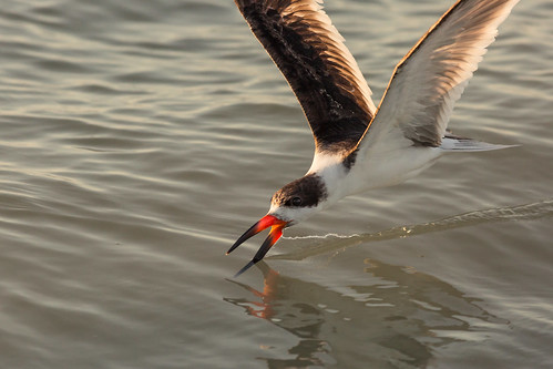 blackskimmer rynchopsniger feeding skimming foraging beach sanibelisland florida